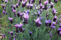Le Domaine du Rayol:<br /> lavande papillon, Lavandula stoechas.