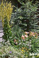Verbascum Christo's Yellow Lightning, Hemerocallis Little Heavenly Angel (pink daylilies), Hosta June, Ampelopsis brevipedunculata var. maximowiczii 'Elegans' variegated, Coreopsis, Calendula in garden border bed next to house
