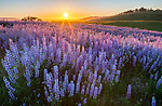 Redwood National Park, CA: A field of bigleaf lupine (Lupinus polyphyllus) at sunset in the Bald Hills