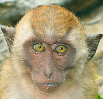 Crab Eating Macaque, also known as Long Tailed Macaque