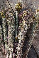 Räucherbüschel binden. Räuchern, smudge-sticks, Räucherbündel, Räucherbüschel, Räucherritual, Sommersonnenwende, Räuchern mit Kräutern, Kräuter verräuchern, Wildkräuter, Duftkräuter, Duft, Feuer, Outdoor, Feuerstelle, Campen. fire, Smoking with herbs, wild herbs, aromatic herbs, fumigate, cure, bonfire, campfire, camping. Oregano, Wilder Dost, Echter Dost, Gemeiner Dost, Oreganum, Origanum vulgare, Oregano, Wild Marjoram. Tüpfel-Johanniskraut, Echtes Johanniskraut, Tüpfeljohanniskraut, Hypericum perforatum, St. John´s Wort. Gewöhnlicher Beifuß, Beifuss, Artemisia vulgaris, Mugwort, common wormwood. Rainfarn, Rain-Farn, Tanacetum vulgare, Chrysanthemum vulgare, Tansy. Walnussblätter, Walnuß, Walnuss, Walnuß, Wal-Nuss, Wal-Nuß, Juglans regia, Walnut, Noyer commun