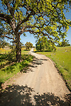 Dirt road and budding oaks, Paine Road, Amador County, Calif.