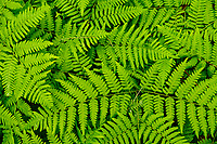 Braken Ferns Growing In The Understory Of A Red Pine Forest In The Adirondack Mountains Of New York State