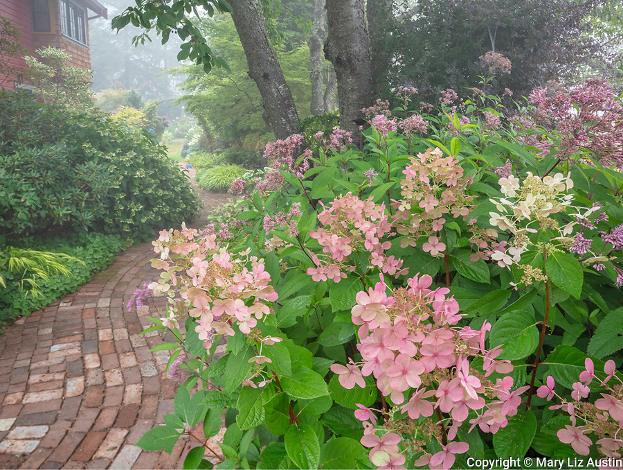 Vashon-Maury Island, WA: Hydrange 'Quick Fire' and Joe Pye Weed blooming next to brick pathway in late summer