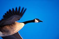 Canadian goose in flight.