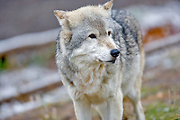 Wolf at Grizzly and Wolf Center. West Yellowstone, Montana