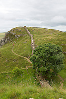 Northumberland,  England, UK.  Sycamore Gap on Hadrian's Wall (Pennine Way) Footpath. Hotbank  Crags in Distance.