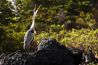 A great blue heron calls out loudly on Isabela Island in the Galapagos. The great blue herons in the Galapagos primarily eat marine iguanas, lava lizards and common fish.