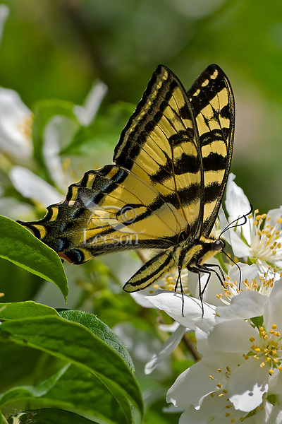 Western Tiger Swallowtail (Papilio rutulus) nectaring on mock orange bush.  Pacific Northwest.