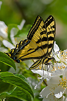 Western Tiger Swallowtail (Papilio rutulus) nectaring on mock orange bush.  Pacific Northwest.