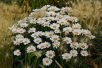 Wild white daisy bouquet as arranged by nature.