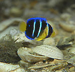 Blue Angel fish juvenile, Holacanthus bermudensis