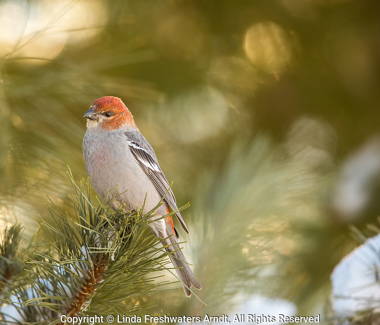 Immature male pine grosbeak perched in a red pine in northern Wisconsin.