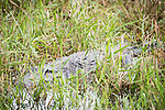 Damon, Texas; a massive adult American alligator partially hidden amongst a clump of reeds in the slough