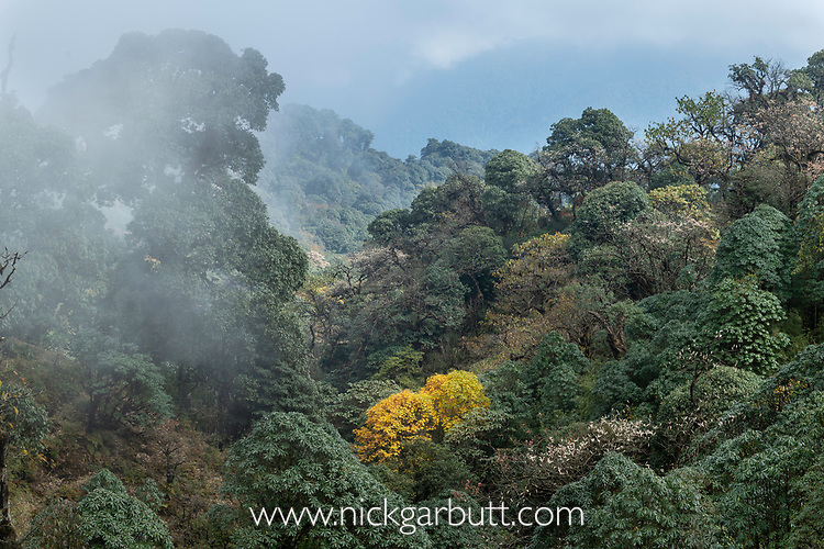 Mid montane / bamboo forest, Himalayan foothills, Singalila National Park, India / Nepal Border.