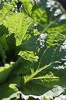 Europe/France/Provence-Alpes-Côte d'Azur/13/Bouches-du-Rhône/Env d'Arles/Le Sambuc: Blettes  dans le Potager bio du Restaurant Bio: La Chassagnette