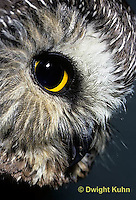 OW02-217z  Saw-whet owl - showing eyes and beak - Aegolius acadicus