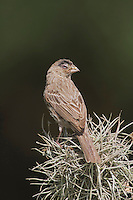 House Finch, Carpodacus mexicanus, adult perched, Hill Country, Texas, USA, April 2007