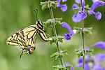 Common swallowtail butterfly (Papilio machaon) on meadow clary (Salvia pratensis) in alpine meadow. Nordtirol, Tirol, Austrian Alps, Austria, 1600 metres altitude, June.