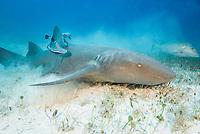 nurse shark, Ginglymostoma cirratum, with remora, Bahamas, Caribbean Sea, Atlantic Ocean