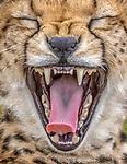Kenya, Olare Motorogi Conservancy, cheetah (Acinonyx jubatus)