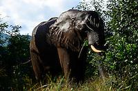 Zambia Chiawa, young elephant bull in Game Reserve Area of Lower Zambezi Nationalpark  / SAMBIA Chiawa, junger Elefant im Game Reserve Area des Lower Zambezi Nationalpark, Privatgelaende und Lodge des Unternehmers Charles Daves aus Simbabwe