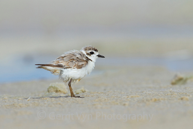 Heavily oiled adult Snowy Plover (Charadrius alexandrinus). This bird was oiled by the BP Deepwater Horizon oil leak. Bon Secour National Wildlife Refuge. Baldwin County, Alabama. June.