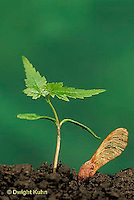 TT12-034b  Red Maple - seedling, seed coat - Acer rubrum