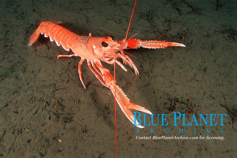 Norwegian lobster, Nephrops norvegicus, Crustacean, Crustacea, Decapoda, Nærøyfjorden, Sogn og Fjordane, Norway, North Atlantic Ocean