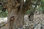 T-028 Kermes oaks on Mount Betarim
