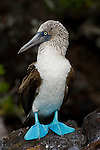 Portrait of a blue-footed booby in the Galapagos Islands.