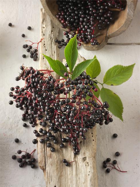 Fresh picked Sambucus berries commonly known as elder or elderberry