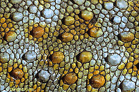 GK10-001c  Tokay Gecko - close-up of skin -  Gekko gecko