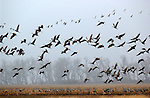 In a symphony of winged delight, a flock of North America's most prolific crane species rises from a fallow cornfield in central Nebraska.