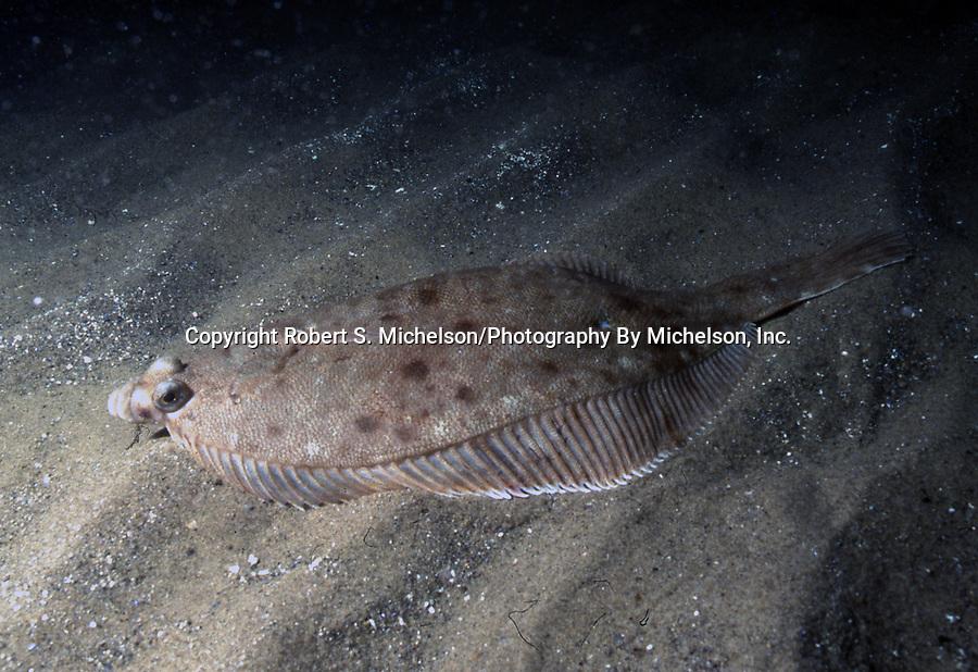 Winter Flounder on sand habitat