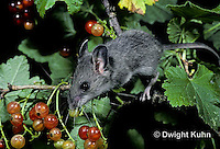 MU50-093z   White-footed Mouse Immature adult eating berries - Peromyscus leucopus