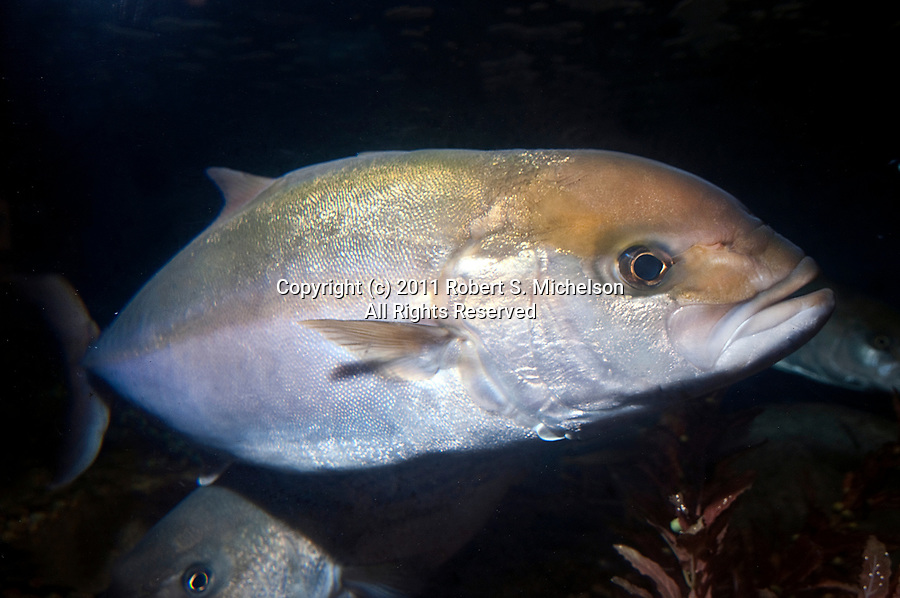 Greater Amberjack full body swimming right