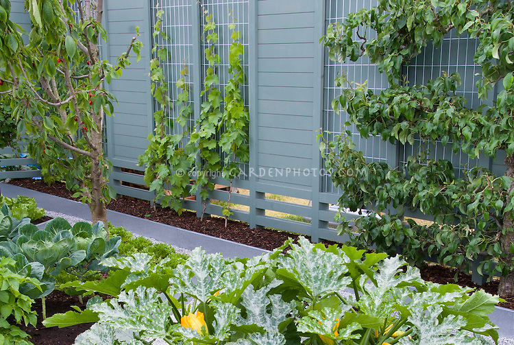 Fruit trees trellis espaliered in vegetable garden landscape, with zucchini, cabbages, modern clean looking galvanized steel raised beds, privacy fence, apples, cherries, Malus, Prunus