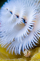 glass blenny, Emblemariopsis diaphana, hiding under Christmas tree worm, Spirobranchus giganteus, Bonaire, Netherlands Antilles, Caribbean Sea, Atlantic Ocean