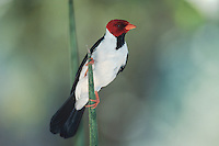 Red-crested Cardinal (Paroaria coronata), adult, Pantanal, Brazil, South America