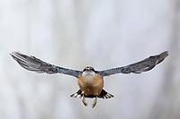 Kleiber, Spechtmeise, Flug, Flugbild, fliegend, mit Vogelfutter im Schnabel, Sitta europaea, Nuthatch, Eurasian nuthatch, wood nuthatch, flight, flying, Sittelle torchepot