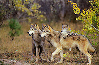 Gray Wolves (Canis lupus) in western forest.  Fall.