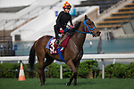 SHA TIN,HONG KONG-APRIL 25: Mongolian Saturday,trained by Ganbat Enebish,exercises in preparation for the Chairman's Sprint Prize at Sha Tin Racecourse on April 25,2016 in Sha Tin,New Territories,Hong Kong (Photo by Kaz Ishida/Eclipse Sportswire/Getty Images)
