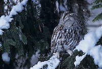 Tawny Owl, Strix aluco, adult on spruce with snow, Oberaegeri, Switzerland, Europe