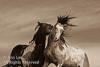 McCullough Peaks Mustangs Wild Horse Photography by western photographer Jess Lee. Pictures of mustangs in the West. Fine art images,Prints,photos Wild horse photo,wildhorses in the american west,