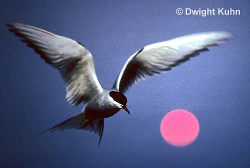 MC59-064c  Arctic Tern - flying above island at sunset - Machias Seal Island, Bay of Fundy - Sterna paradisaea