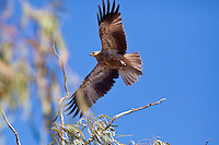 Whistling Kite, Georgetown - Normanton Road, Queensland, Australia