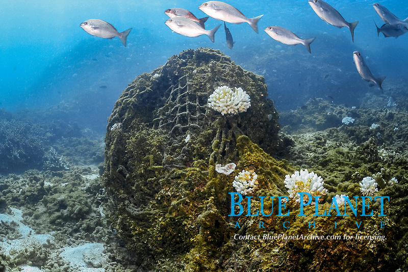 abandoned fishing net covering coral reef, coral bleaching, bleached cauliflower coral, Pocillopora meandrina, Pearl and Hermes Reef, Papahanaumokuakea Marine National Monument, Northwestern Hawaiian Islands, Hawaii, USA, Pacific Ocean