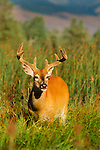 White-tailed deer, Montana, USA