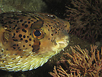 Kenting, Taiwan -- Partly blown up porcupinefish (balloonfish)<br /> <br /> I encountered this porcupinefish on a night dive. It must have been scared, maybe of the torch light, as it started to puff itself up in my presence.
